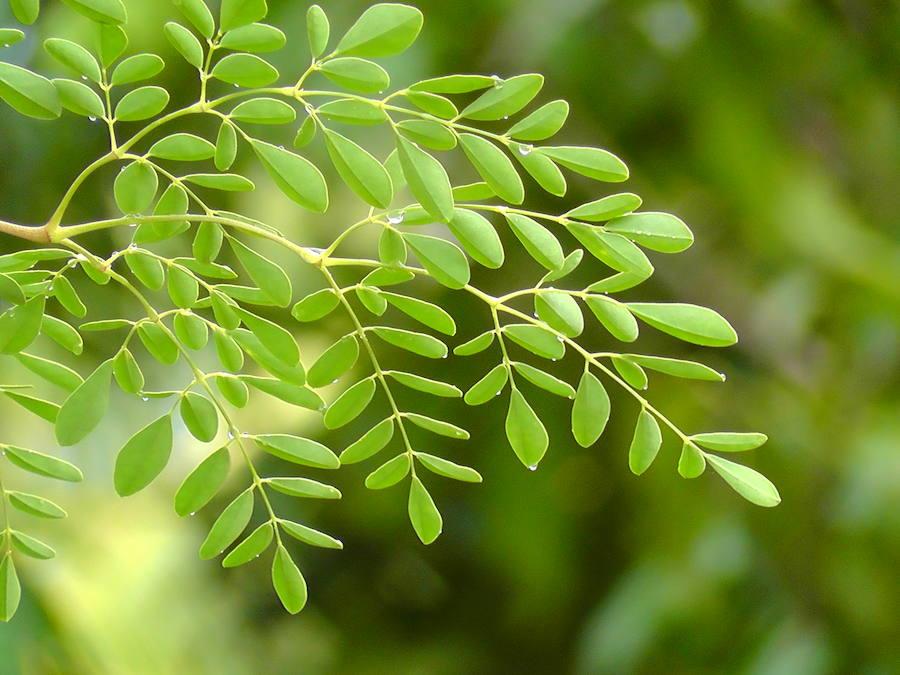 Hojas del árbol de la moringa