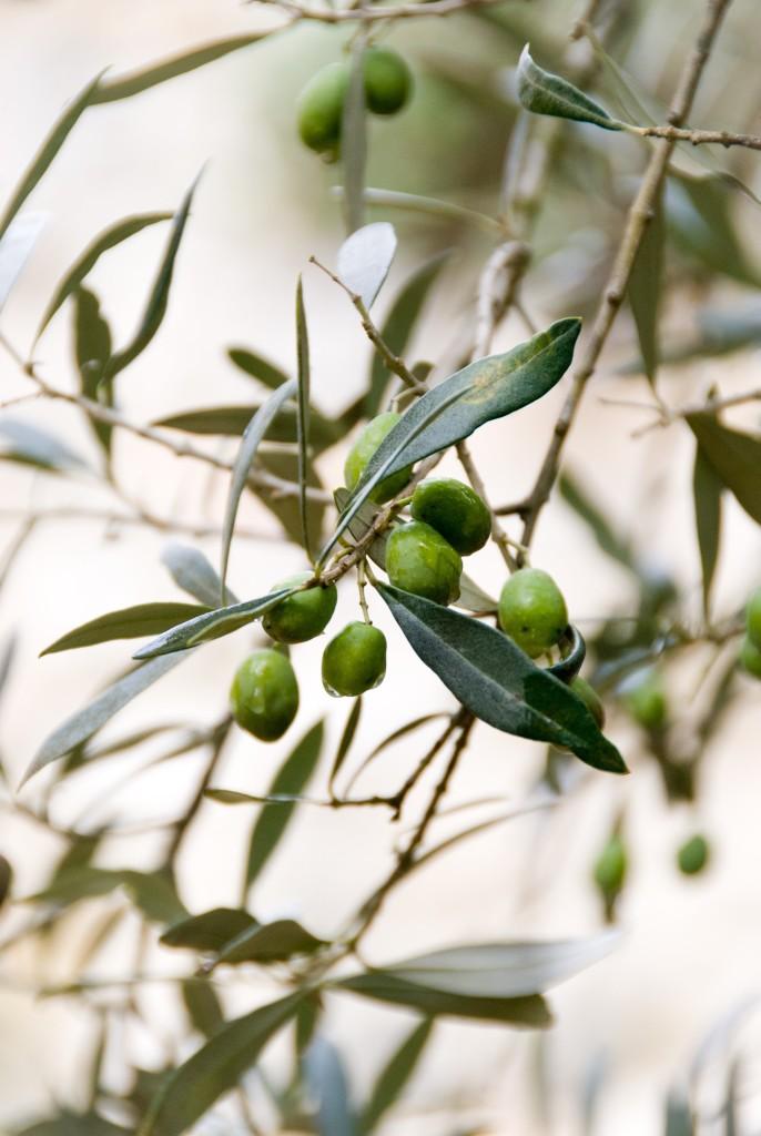hoja-de-olivo-beneficios-salud